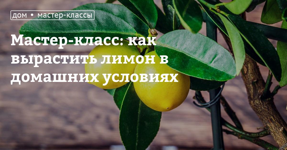 Правильно ухаживать за лимонами в домашних условиях