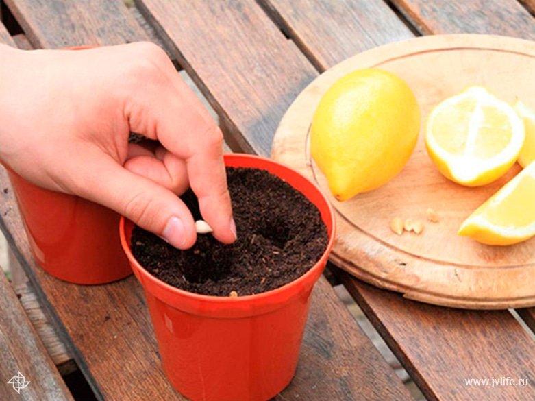 Как посадить апельсин из косточки в домашних условиях пошагово