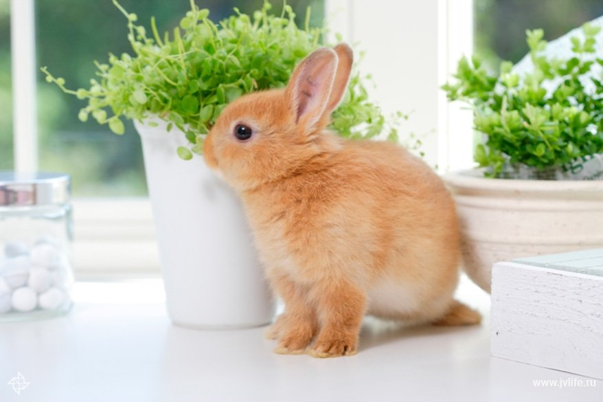 Картинки декоративных кроликов