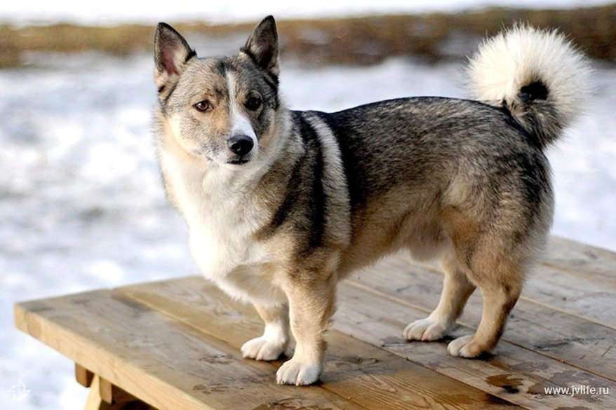 Corgi husky mix horgi on table 1024x699