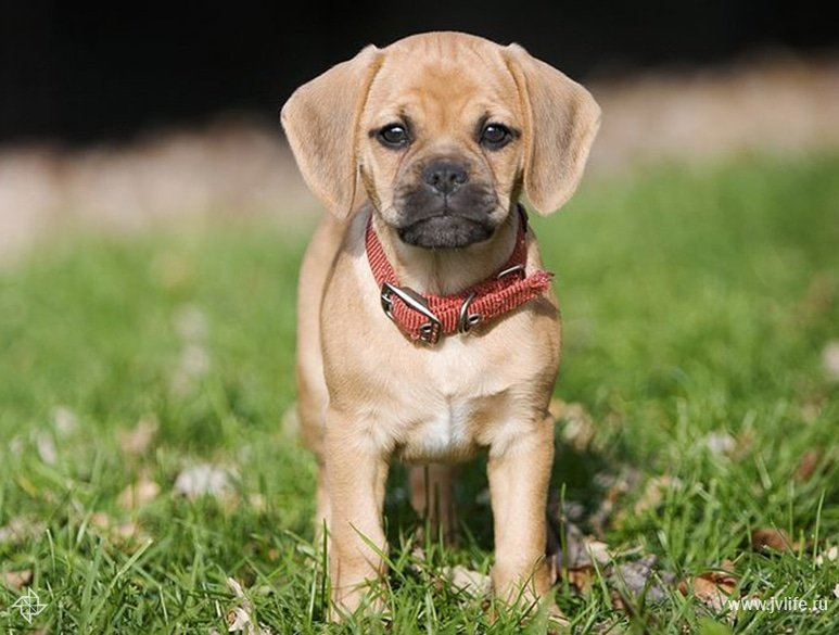 Wallpaper hd puggle dog or dekstop